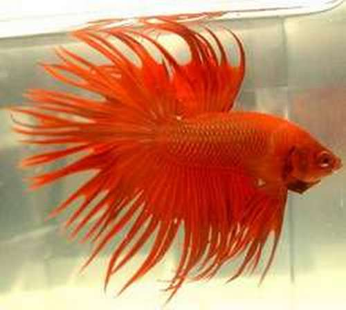 Donnie 39 s hobbies and services for Crown betta fish